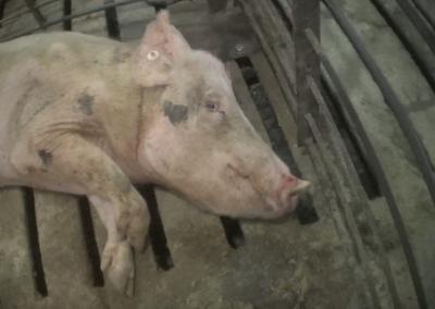 Christensen Dying Pig in Sick Pen 1