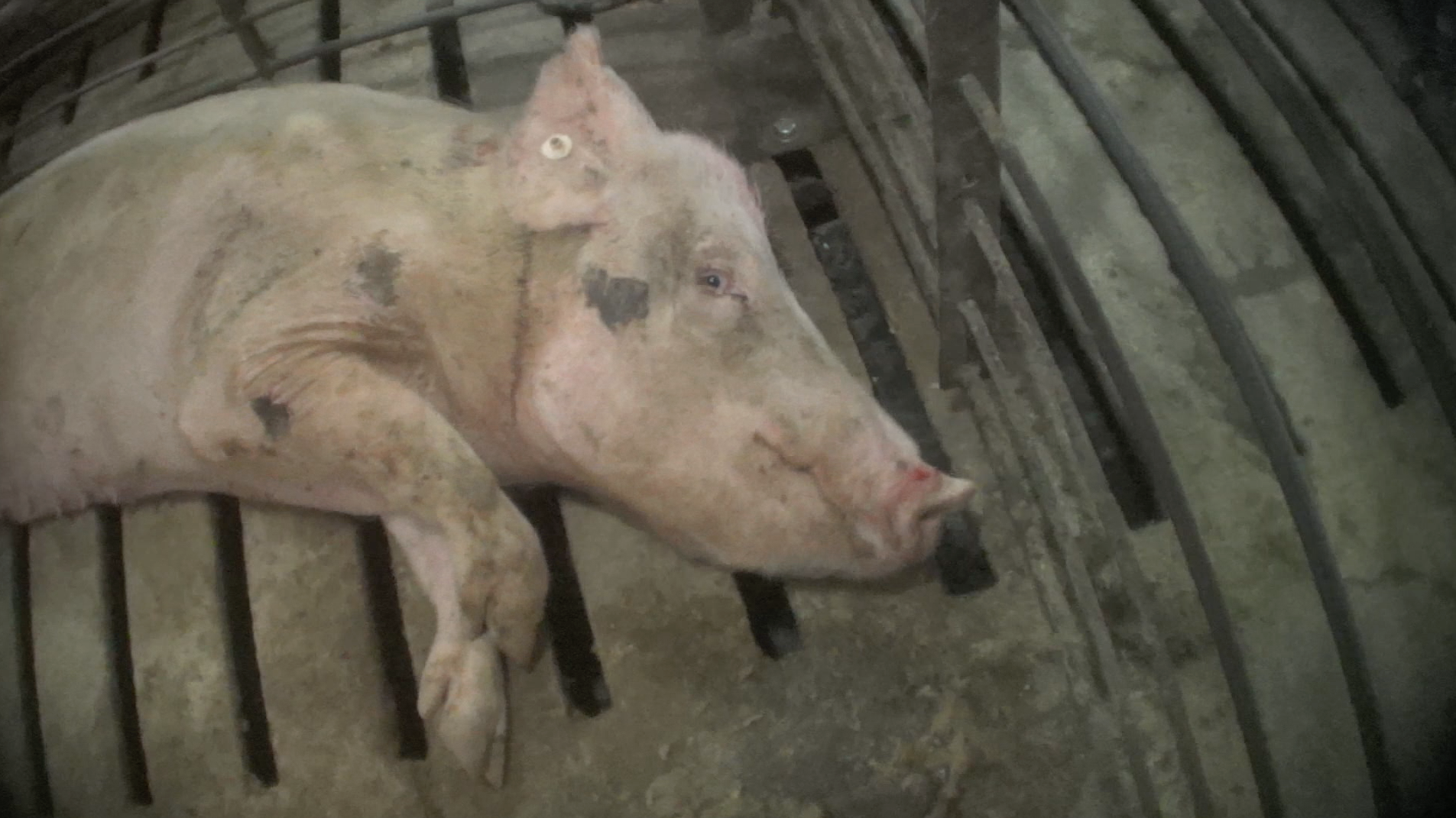 Christensen Farms Factory Pig Farm Investigation From