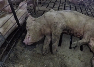 Christensen Dying Pig in Sick Pen 2