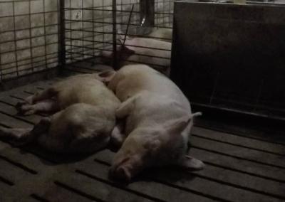 Christensen Dying Pigs in Sick Pen