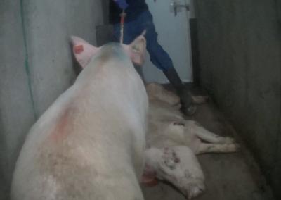 Christensen Injured Pig Dragged over Dead Body