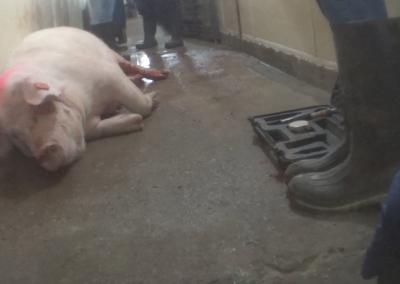 Christensen Injured Pig in Hallway